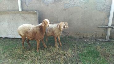 138 объявлений   ЖИВОТНЫЕ: Продаю   Овца (самка)   Арашан   Для разведения   Матка