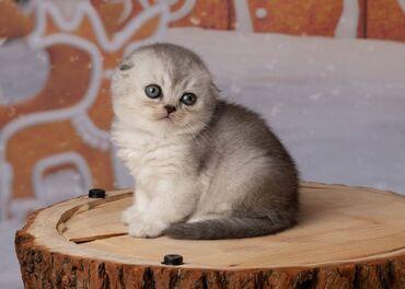 Έτοιμο σκωτσέζικο γατάκι, εκπληκτική πραγματική ποικιλία.Προέρχονται