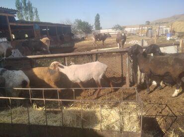 Животные - Заря: Продаю | Овца (самка), Ягненок, Баран (самец) | Арашан | На забой, Для разведения