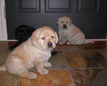 Buy Labrador pupies σε Achaia