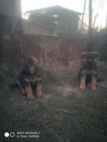 продажа щенков бишкек в Кыргызстан: Продаю щенков немецкой овчарки, родители щенков дома, элитные