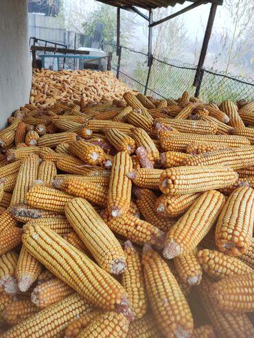 73 объявлений   ЖИВОТНЫЕ: Продаю кукурузу в початках 8-10 тонн,сухаяг Кант село Гагарина