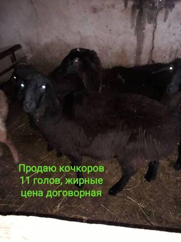 Бараны, овцы - Порода: Другая порода - Бишкек: Продаю | Баран (самец) | Полукровка | На забой