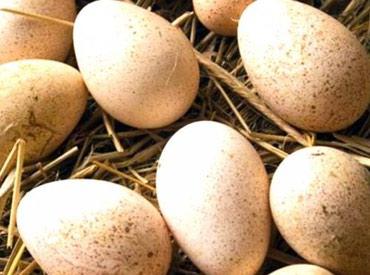 Продаю индюшиные инкубационные яйца. в Бишкек