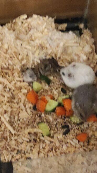 afcarka balalari satilir - Azərbaycan: Cunqarik balaları satılır. (Hamster,Xamyak)