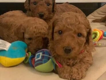 F1 Miniature Cockapoo Puppies Health Δοκιμασμένο Είμαστε 5️ αδειοδοτημ