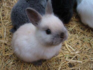 Декоративные кролики .Порода минор.Прививки сделаны .Родители с