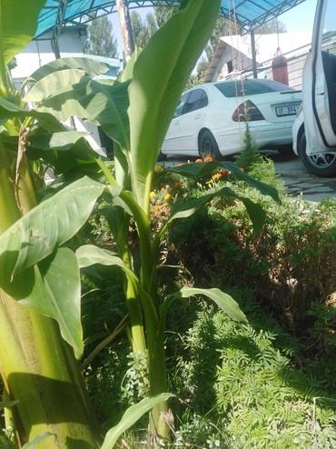 Комнатные растения в Кок-Ой: Банановые пальмы, украсят ваш сад дом всей своей красотой. Мелис, с