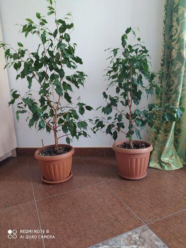 цветок-семейное-счастье в Кыргызстан: Цветы цветок растение растения цикламен женское счастье фикус фикусы