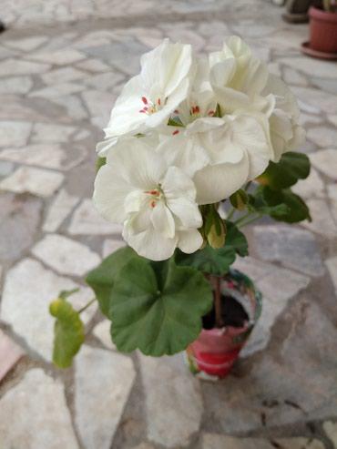 Махровая герань белого и арбузного цветов в Бишкек