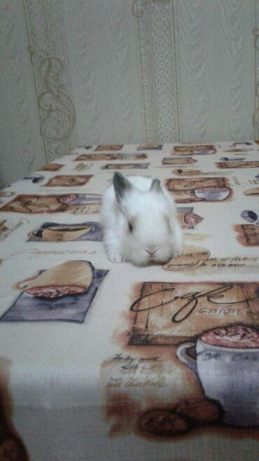 Salam dostlar dovşan balaları satilir sort balalaridir 35m biri riyal