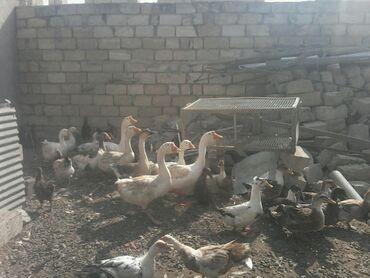 xoruz - Azərbaycan: Salam toyuq qaz ördeylal qirqir kokduler xoruz qiymetleri 10azndan b