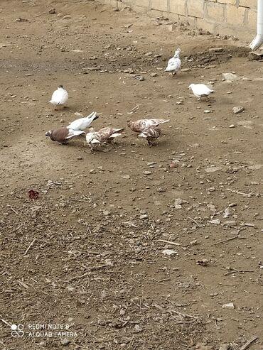 Животные - Саатлы: Cütu 6 azın