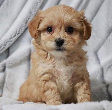 Για σκύλους - Αθήνα: Maltipoo puppies Potty trained, vaccinated and wormed, both genders