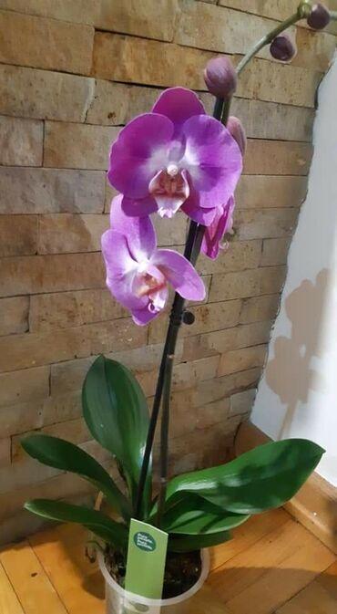 Orhideje vise razlicitih na stanju
