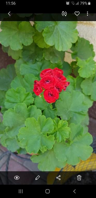 цветы комнатные молочай в Кыргызстан: Герань розебудная. Ярко -красный цвет. Есть отростки
