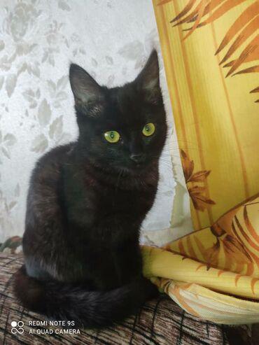 Коты - Кыргызстан: Отдам котенка девочку в добрые руки! 4 месяца к лотку приучена!