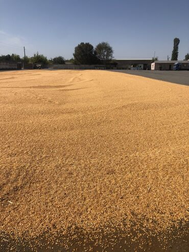 Кукуруза Продаю рушенную кукурузу оптом минимум 20тонн, меньше не прод