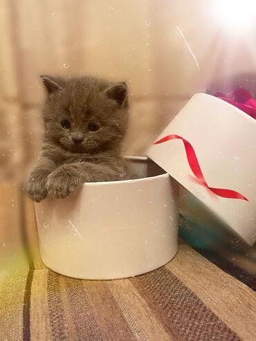 Продаются чистые шотландские(скотиш) котята 1 фолд и 4 страйт