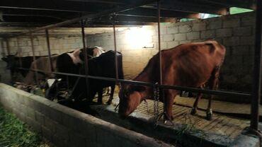 Продаю   Корова (самка)   Швицкая   Для молока   Племенные