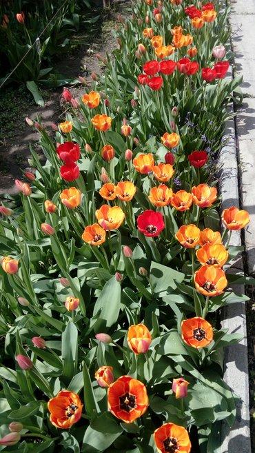 тюльпаны 50 сом за луковицу в Бишкек