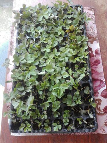 Prodajem sadnice šumskih jagoda sa planine Goč. Cena jednog
