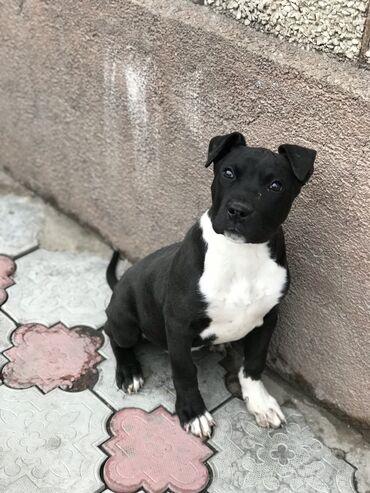 Собаки - Кыргызстан: Мощный Аммстафф !!!Так быстро растет Чистокровный Амстафф - Американс