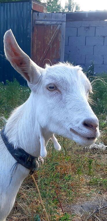 Животные - Красная Речка: Продаю   Коза (самка)   Для молока   Племенные