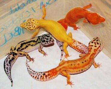 спящий ребенок на подушке в Кыргызстан: Leopard gecko farm предлагает вам милых экзотических питомцев геконов