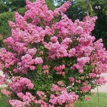 Otaq bitkiləri Xırdalanda: Hind yasemeni satılır isteyenler burda yade vasap nömresine yazsın