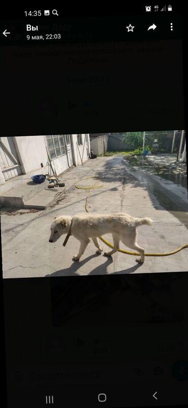 Животные - Кызыл-Кия: Продам на хорошие руки, парода Алабай 1 годик