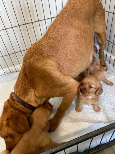 Πώληση κουτάβια Labrador RetrieverWhatsApp + 32Έχουμε αρσενικά και