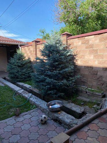 Продается елки пышные живые растения уже большие, причина продажи не