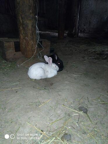 Животные - Кадамжай: Кролики