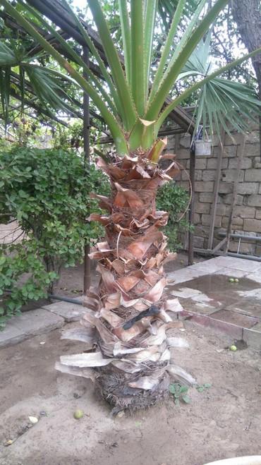 Bakı şəhərində Hündürlüyü ümumi 3 metr, gövdəsini hündürlüyü 1.5 metr.