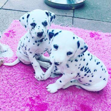 Για σκύλους - Αθήνα: Dalmatian puppies διαθέσιμο 100% υγιές επικοινωνήστε μαζί μου για