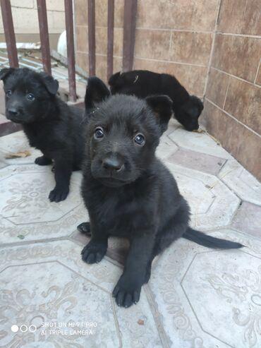 Щенки черной восточно-европейской овчарки. Возраст 1 месяц. Родители с