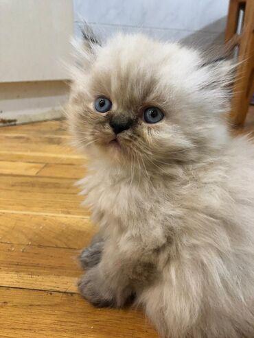 Гималайский перс мальчик окрас колор поинт глаза будут голубые