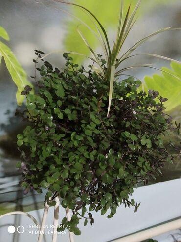 Комнатные растения - Беловодское: Пальма+традисканция мелколистная цена договорная