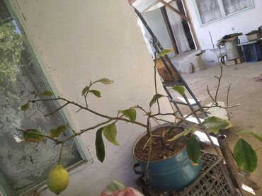 домашний лимон в Кыргызстан: Продаю лимон домашний с плодами
