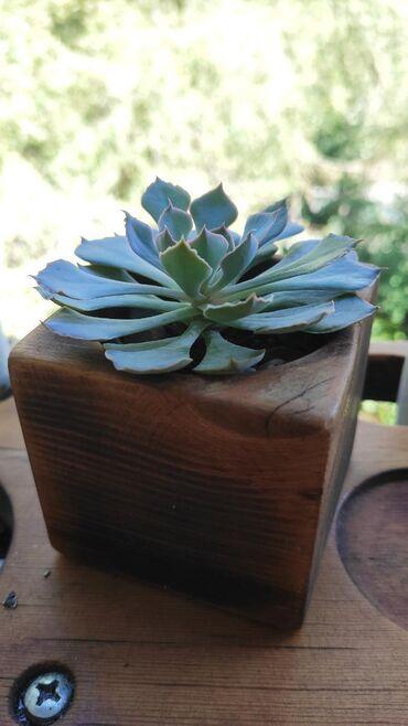 Другие комнатные растения - Кыргызстан: Эхеверия шавиана в кашпо из натурального дерева (кедр)