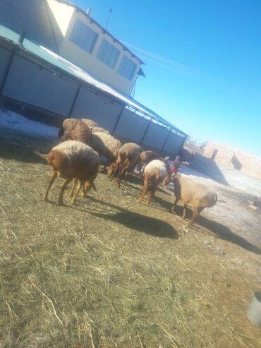 Гисар кой - Кыргызстан: Гисар койлор бооз