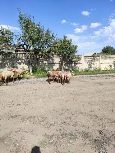 Животные - Красная Речка: Продаю   Овца (самка), Ягненок   Гиссарская, Арашан   Для разведения   Племенные, Ярка