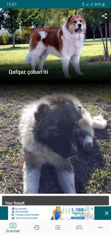 coban iti - Azərbaycan: Qafqaz coban iti 1 yasi var