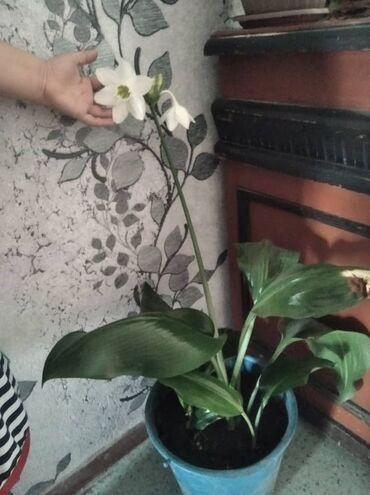 Комнатные растения - Беловодское: Продаю