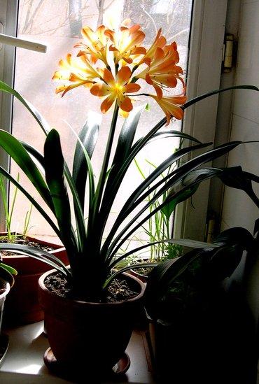 Кливия - сейчас не цветет, здоровое, ухоженное растение, фото от 5 в Бишкек