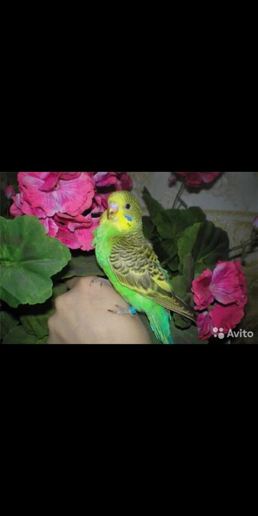 Молодые попугаи по 500 сом В продаже также есть клетки в Бишкек