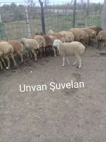 Yonca presinin qiymeti - Azərbaycan: Beylaqan agcebedi sortu.her cekide.130manatdan bawdiyir qiymet.kok