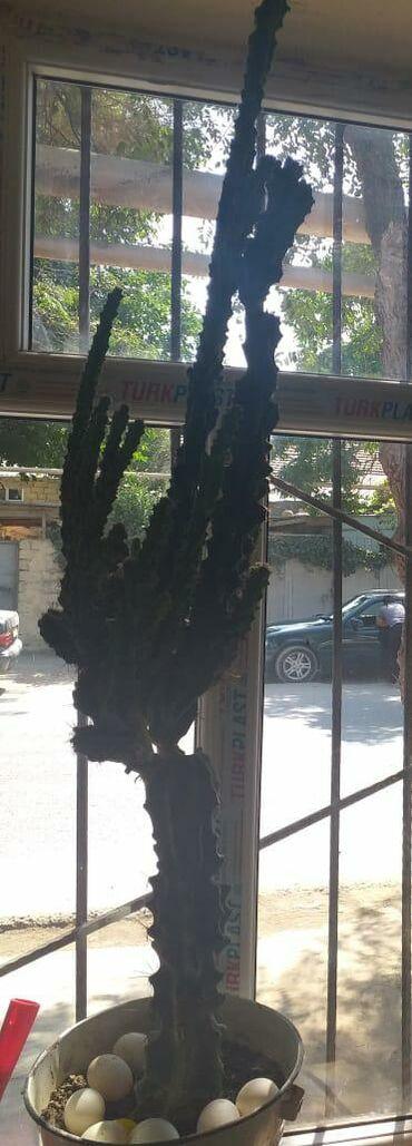 Kaktus - Azərbaycan: Kaktus satilir 40 manata