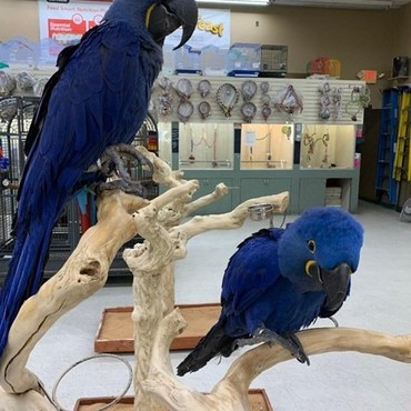 Male And Female Caring Hyacinth Macaw  σε Amfissa